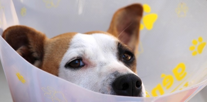 After Surgery Care For Your Pet